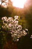 Ramificación de árbol del flor Imagen de archivo libre de regalías