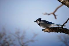 Ramificación de árbol del invierno de Jay azul Fotografía de archivo