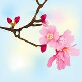 Ramificación de árbol del resorte con los flores rosados Fotografía de archivo libre de regalías