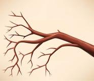Ramificación de árbol descubierta Fotografía de archivo