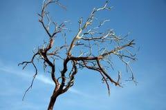 Ramificación de árbol descubierta Imagen de archivo libre de regalías