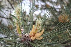 Ramificación de árbol joven de pino Fotografía de archivo libre de regalías