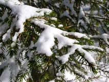 Ramificación de árbol Spruce Foto de archivo libre de regalías