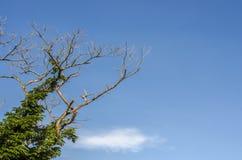 Ramificación de árbol y cielo azul Fotografía de archivo