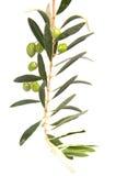 Ramificación de aceitunas verdes Foto de archivo libre de regalías