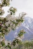 Ramificación de Apple con la flor Fotografía de archivo libre de regalías