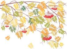Ramificación de ashberry Fotografía de archivo libre de regalías