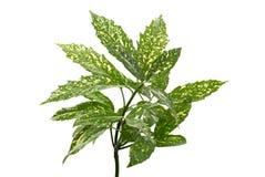 Ramificación de hojas verdes Foto de archivo libre de regalías