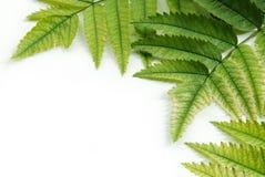 Ramificación de hojas verdes Imagenes de archivo