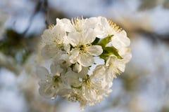 Ramificación de la cereza foto de archivo libre de regalías