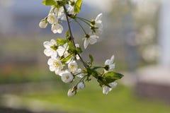 Ramificación de la cereza imagen de archivo libre de regalías