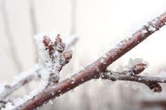 Ramificación de la cereza con el brote cubierto en hielo Fotos de archivo libres de regalías