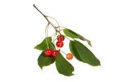 Ramificación de la cereza con las hojas y pocas bayas Fotografía de archivo libre de regalías