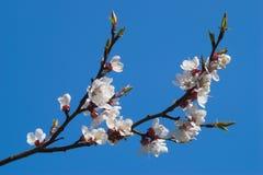 Ramificación de la cereza floreciente encima Foto de archivo