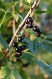 Ramificación de la grosella negra en arbusto Imagen de archivo libre de regalías