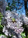Ramificación de la lila Fotos de archivo