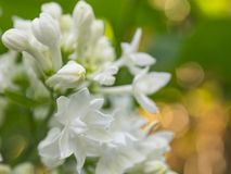 Ramificación de la lila blanca Imagen de archivo libre de regalías