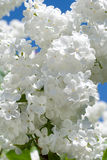 Ramificación de la lila blanca Fotografía de archivo libre de regalías