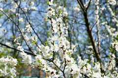Ramificación de la manzana del flor Foto de archivo libre de regalías