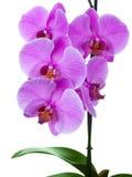 Ramificación de la orquídea floreciente. Aún-vida Imagen de archivo libre de regalías