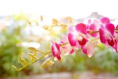 Ramificación de la orquídea tropical magenta Fotos de archivo