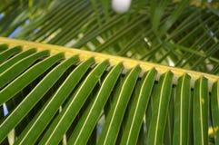 Ramificación de la palmera imagen de archivo libre de regalías