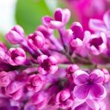 Ramificación de las flores de la lila Imagen de archivo libre de regalías