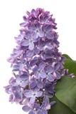 Ramificación de lilas florecientes Fotografía de archivo libre de regalías