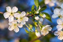 Ramificación de los flores de cereza Foto de archivo