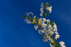 Ramificación de los flores de cereza Fotografía de archivo