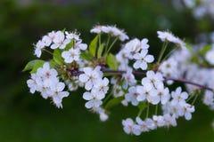 Ramificación de los flores de cereza Fotos de archivo libres de regalías