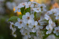Ramificación de los flores de cereza Imagen de archivo libre de regalías