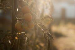 Ramificación de los tomates de cereza imagen de archivo
