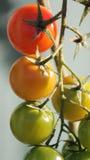 Ramificación de los tomates del bebé Imagenes de archivo