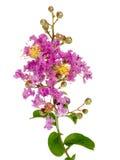 Ramificación de Myrtle de Crepe de la lila con las flores imagen de archivo libre de regalías