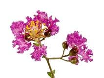 Ramificación de Myrtle de Crepe de la lila con las flores horizontales fotos de archivo