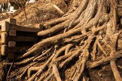 Ramificación de raíces Imagen de archivo