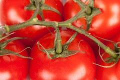 Ramificación de tomates fotografía de archivo libre de regalías