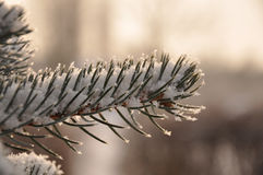 Ramificación de un árbol de pino imagen de archivo libre de regalías