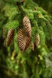 Ramificación de un árbol de pino joven Fotografía de archivo