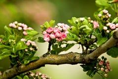 Ramificación de un manzana-árbol Foto de archivo