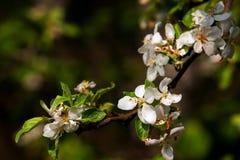 Ramificación de un manzano floreciente fotografía de archivo