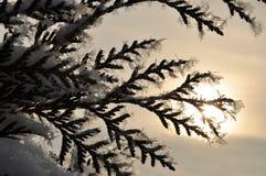 Ramificación del árbol de abeto fotografía de archivo libre de regalías