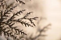Ramificación del árbol de abeto imagen de archivo libre de regalías