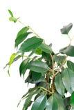 Ramificación del árbol de benjamin imagen de archivo libre de regalías