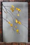 Ramificación del abedul bajo gotas de lluvia en otoño Imagen de archivo libre de regalías