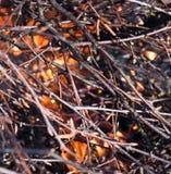 Ramificación del abedul en fuego Fotos de archivo