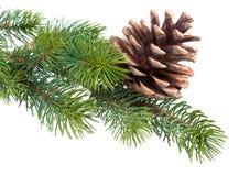 Ramificación del abeto con el cono del pino Foto de archivo libre de regalías