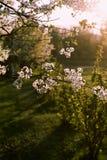 Ramificación del cerezo del flor Imágenes de archivo libres de regalías