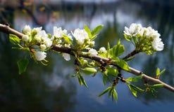 Ramificación del manzana-árbol del flor Imagen de archivo libre de regalías